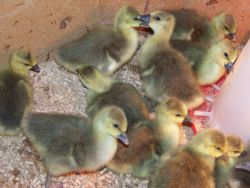 Baby goslings hatched 4-11-15, for sale. $10 each