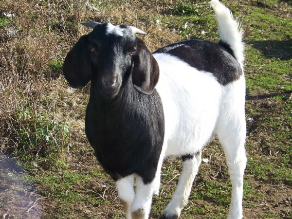 THDL Meadow's Calla Lily - Boer Goat Doe